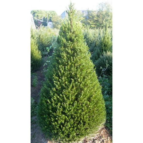 Taxus Baccata Yew Cone 7ft inc pot height