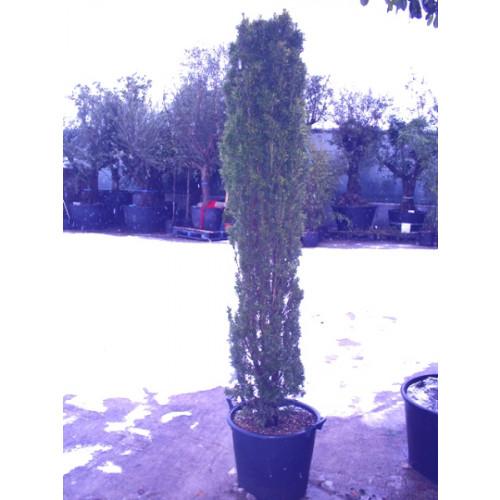 Taxus Baccata Fastigiata Gold Elegant Column 6ft 8in - 200cm high includes pot height