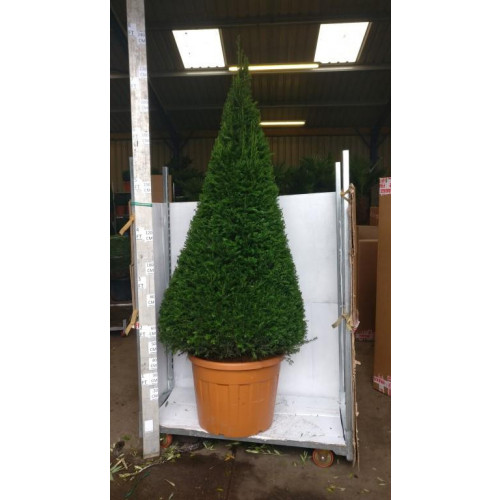 Taxus Baccata Yew cone 8 foot high inc pot