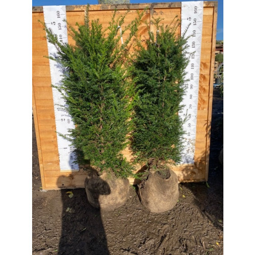 Hedging Taxus Baccata Rootballed 120-150cm plant height - AVAILABLE NOW