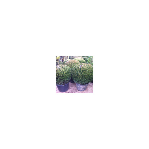 Taxus Baccata Ball 90-100cm / 3ft-3ft 3in  high does not include pot
