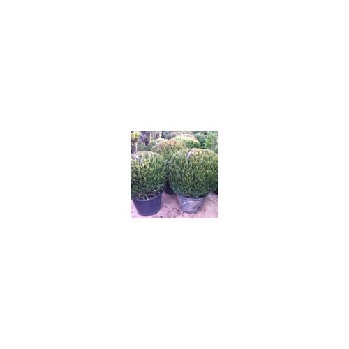 Taxus Baccata Ball 90cm diameter