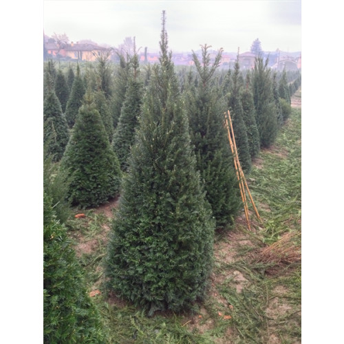 Taxus Yew Pyramid 4 sided Egyptian Pyramid 1.8-2m (6ft-6ft 6 inches) height of plant