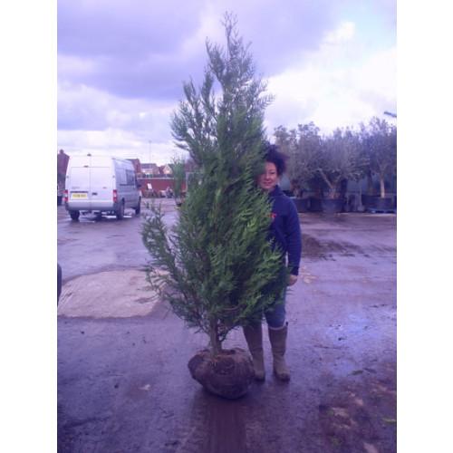 Thuya Plicata Atrovirens 200-250cm (7 - 8ft) - SOLD OUT