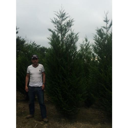 Thuya Plicata Atrovirens 11ft+ tall plant height
