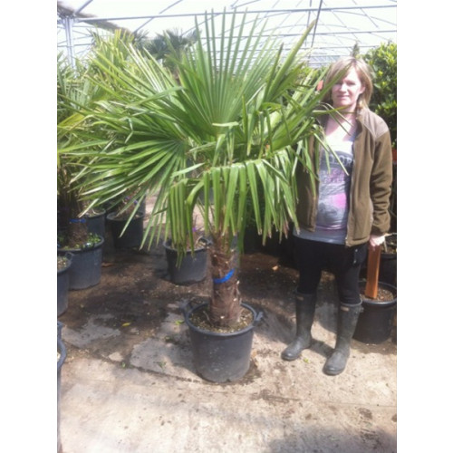 Trachycarpus Fortuneii Chusan Palm 140 -160cm / 4ft 7in - 5ft 3in including pot height (trunk height 50cm)