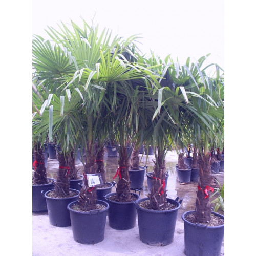 Trachycarpus Fortuneii Chusan Palm 160 - 180cm / 5ft 3in - 6ft including pot height (trunk height 60cm)