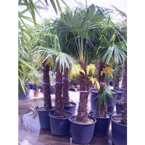 Trachycarpus Fortuneii Chusan Palm 190 - 210cm / 6ft 2in - 6ft 10in including pot height  (trunk height 100cm)