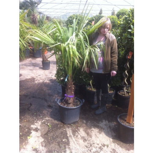 Trachycarpus Fortuneii Chusan Palm 130-140cm / 4ft 3in - 4ft 7in including pot height (trunk height 30/35cm)