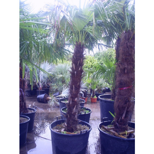 Trachycarpus Fortuneii Chusan Palm 265cm / 8ft 8in including pot height (trunk 120-130cm)