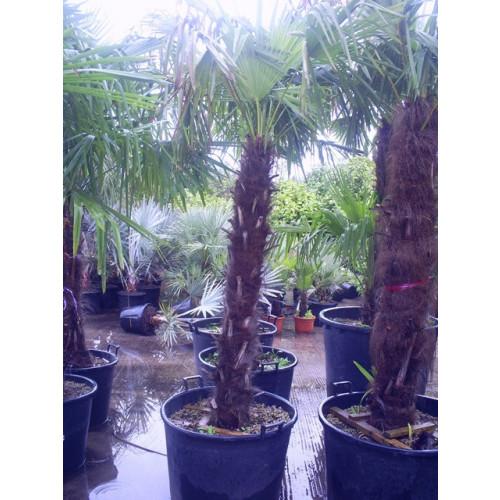 Trachycarpus Fortuneii Chusan Palm 265cm / 8ft 8in including pot height (trunk 120-130cm)