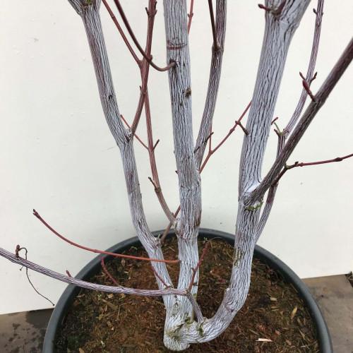 Acer davidii 'Viper' 250-300cm in 50lt pot