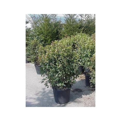 Viburnum Tinus 3- 3 feet 6 inches feet high inc pot height