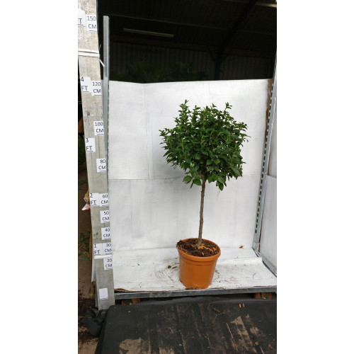 Viburnum Tinus Ball on Stem 110cm tall including height of the ball, 40-50cm head diameter