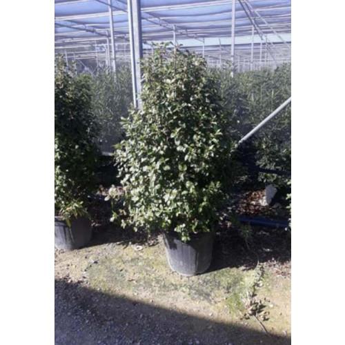 Viburnum Tinus Grandiflorum 125-150cm planted height in 70lt pot