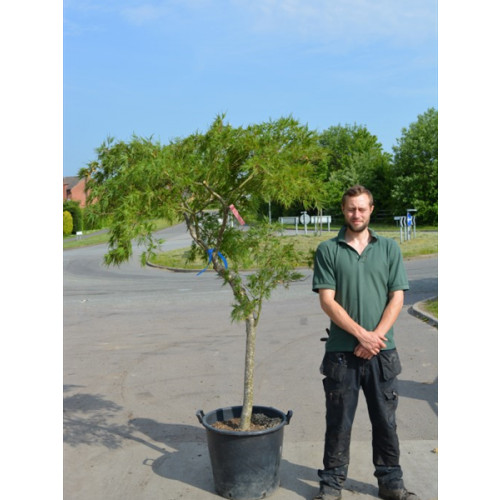 Acer Palmatum Disectum Viridis Japanese Maple 170cm high including height of pot (stem 80-100cm)