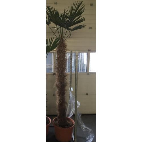 Trachycarpus Wagnerianus 275cm tall including pot, 150cm stem