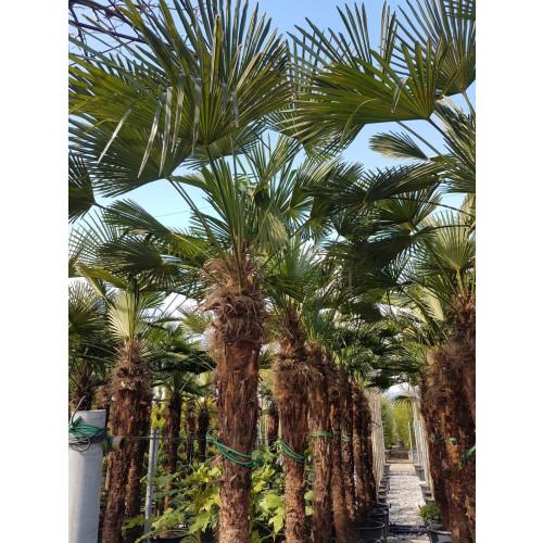 Trachycarpus Wagnerianus 320cm tall EXCLUDING pot, 200cm stem