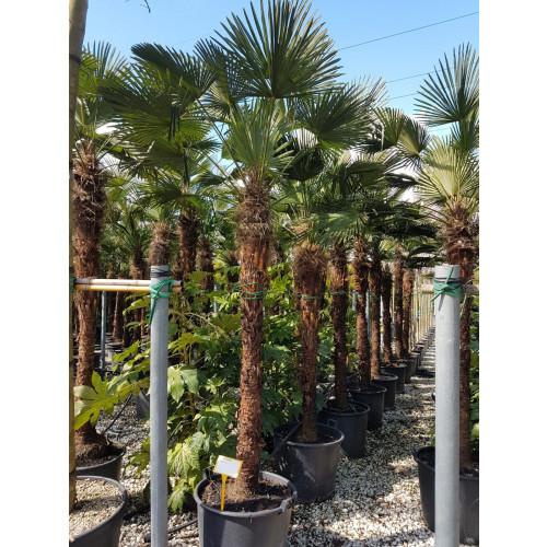 Trachycarpus Wagnerianus 380/400cm tall EXCLUDING pot, 260cm stem