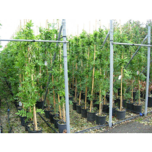 WISTERIA SINENSIS, Grafted, 180/200 Clt.10