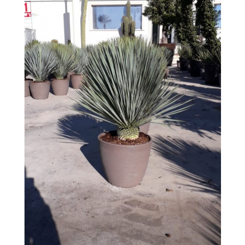 Yucca Rostrata 120cm Tall Including Pot, 40lt - VERY LIMITED QUANTITY
