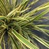 Phormium 'Golden Ray' 60-80cm planted height in 20lt pot