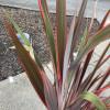 Phormium 'Sundowner' 100-125cm planted height in 20lt pot