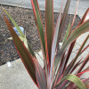 Phormium 'Sundowner' 100-125cm planted height in 20lt pot  - SOLD OUT UNTIL SUMMER 2021