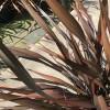Phormium 'Platt's Black' 80-100cm planted height in 20lt pot