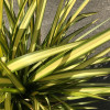 Phormium 'Yellow Wave' 60-80cm planted height in 20lt pot