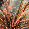 Phormium 'Flamingo' 80-100cm planted height in 20lt pot