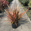 Phormium tenax 'Rainbow Maiden' 80-100cm planted height in 20lt pot  - SOLD OUT UNTIL SUMMER 2021