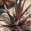 Phormium Cookianum 'Black Adder' 80-100 planted height in 20lt pot