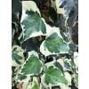 Hedera alg. 'Gloire de Marengo' 200-250cm above soil, 20lt, 1 cane