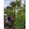 Chamaerops Humilis Fan Palm 180 - 195cm / 6 - 6ft 6in including pot height