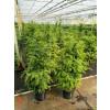 Taxus Baccata Hedging 80-100cm pot grown 12lt