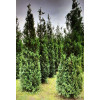 Thuya Plicata Atrovirens 12ft plus plant height does not include rootball - SOLD OUT
