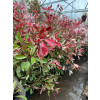 Photinia 'Pink Marble' 80-100cm plant height