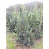 Ilex aquifolia 'J.C. van Tol' 150-175 rootball - AVAILABLE NOW