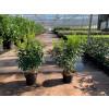 Hedging Prunus Lusitanica, 60 - 80cm plant height