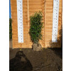 Hedging Prunus Lusitanica rootballed 100-120cm plant height - AVAILABLE NOW