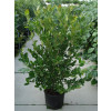 Magnolia stellata Established in large 20 litre pot 125-150cm (4-5 feet) in the ground