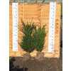 Hedging Taxus Baccata Rootballed 100-120cm plant height - AVAILABLE NOW