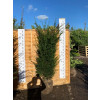 Hedging Taxus Baccata Rootballed 150-175cm plant height - AVAILABLE NOW
