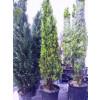 Thuya Orientalis Pyramidalis Aurea Thuja 7 feet high including height of pot